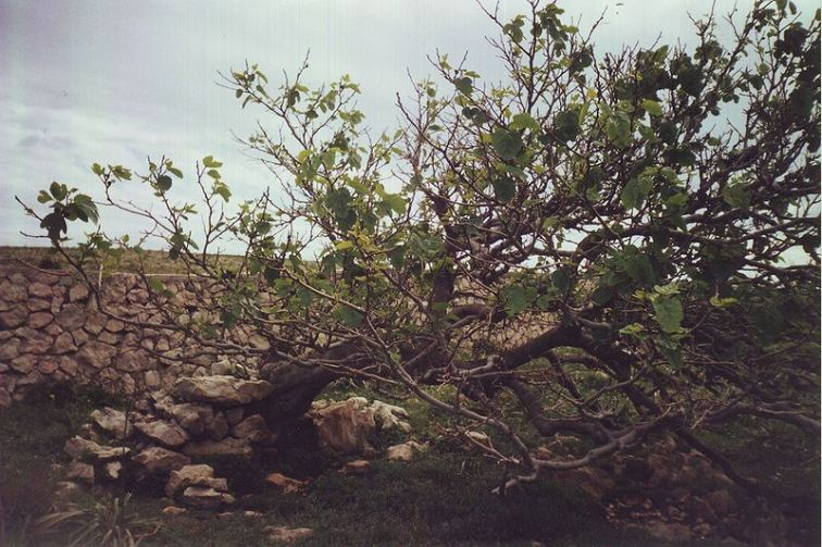 old_fig_tree