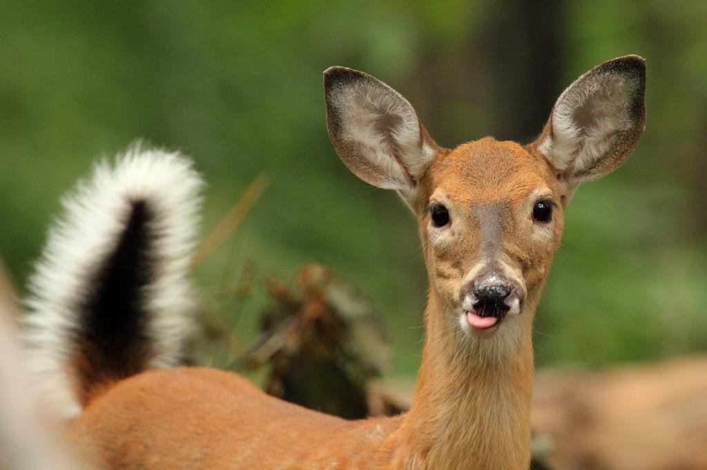 deer_tongue