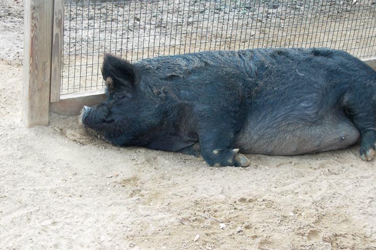 Sleeping_Guinea_Hog